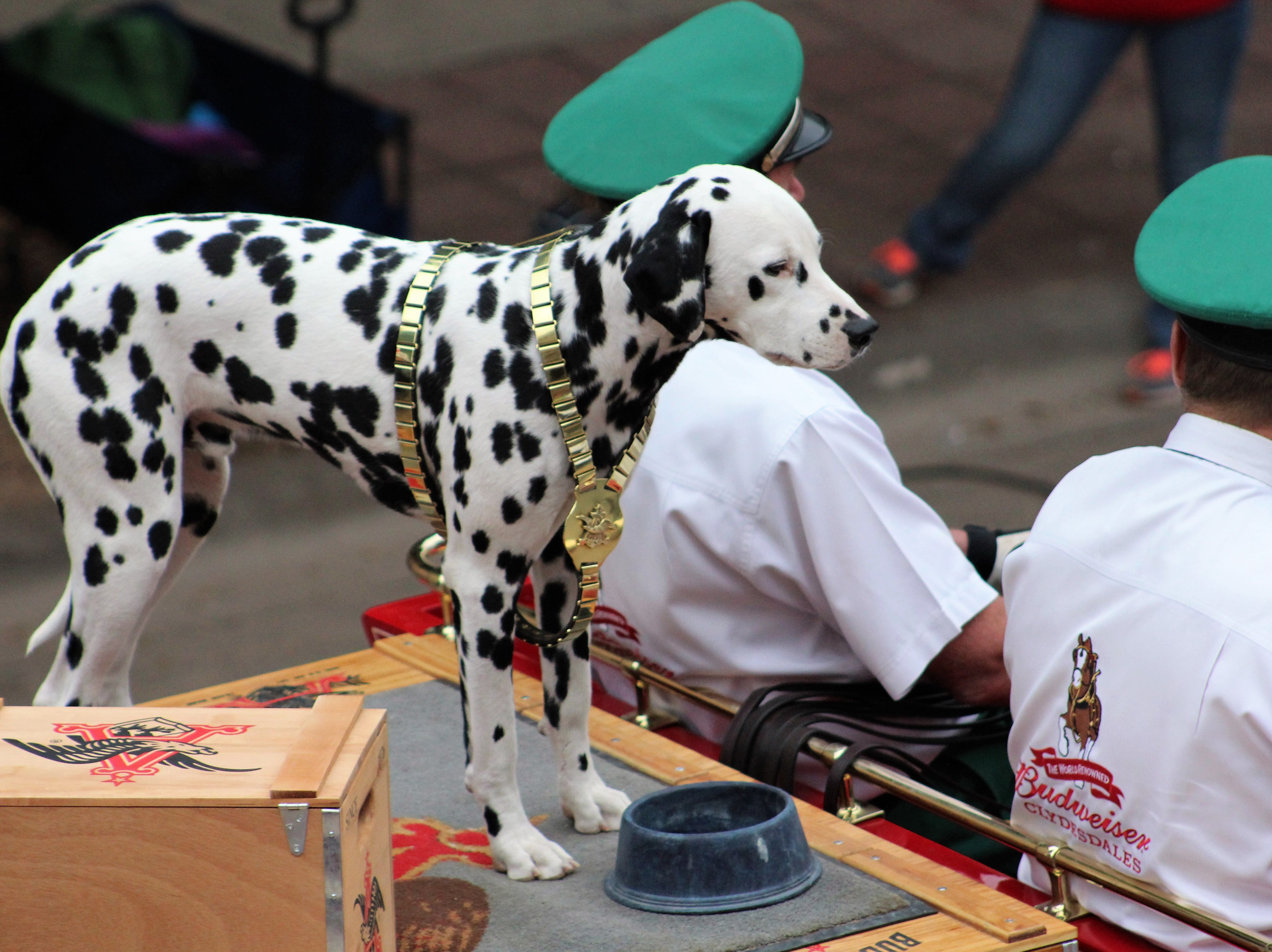 Noting that Abilene is a dog-friendly town, the Dalmatian riding atop the Budweiser wagon in Thursday evening's Western Heritage Classic parade downtown poses for those taking cellphone photos and video. May 9, 2019