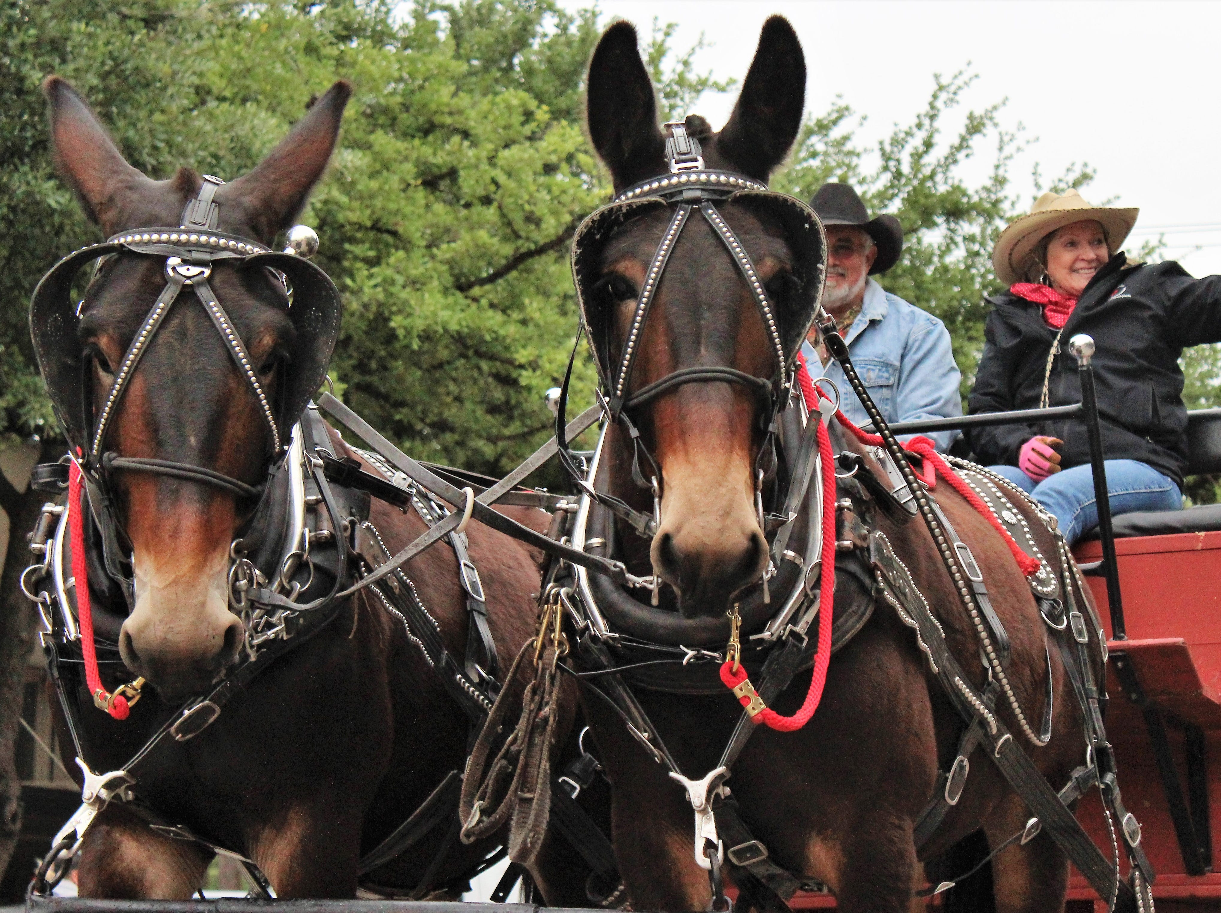 Horse- and mule-drawn wagons and carriages normally aren't seen on Abilene streets anymore, but were plentiful in Thursday evening's Western Heritage Classic parade. May 9, 2019.
