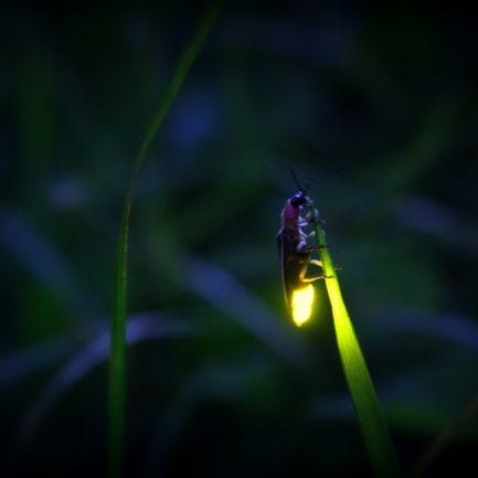 Missed a chance to see synchronous fireflies in the Smokies? Take a blue ghost firefly tour