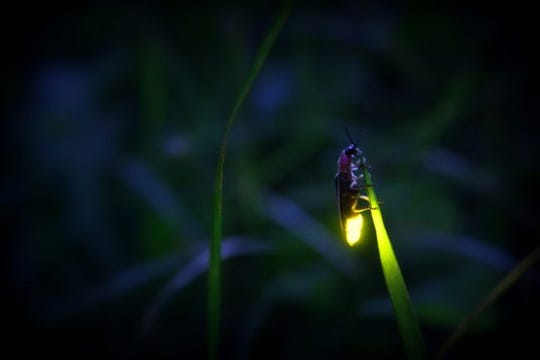 "A blue ghost firefly glows at the Cradle of Forestry. The nonprofit interpretive center in the Pisgah National Forest is holding ""In Search of Blue Ghost Firefly"" tours in May."