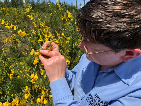 Dana Coggon, Kitsap County's noxious weed coordinator, examines Scotch Broom for the presence of Bruchidius villosus, a type of weevil that eats the seed pods of the invasive species.