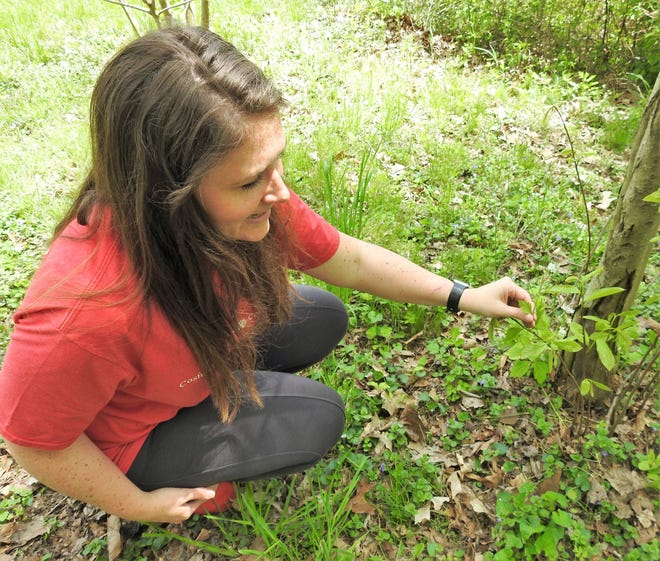 Jandi Adams of Clary Gardens shows and example of garlic mustard, an invasive species that can be used in cooking, in this Tribune file photo.