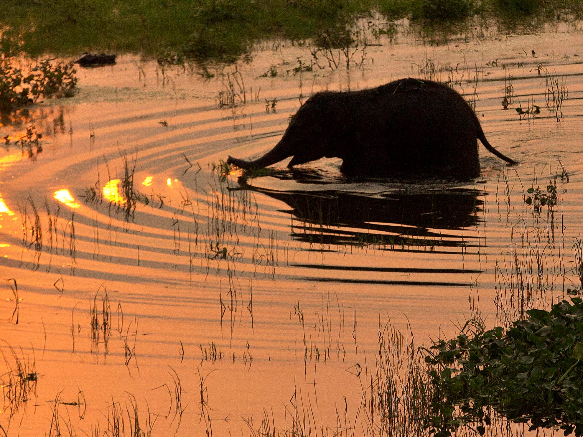 A baby wild elephant crosses the water to return to the forest after being rescued at Deepor Beel wildlife sanctuary in Gauhati, India, Friday, May 10, 2019. The elephant had gotten stuck in the waters of Deepor Beel after it was separated from a herd of wild elephant that came down in search of food last night.