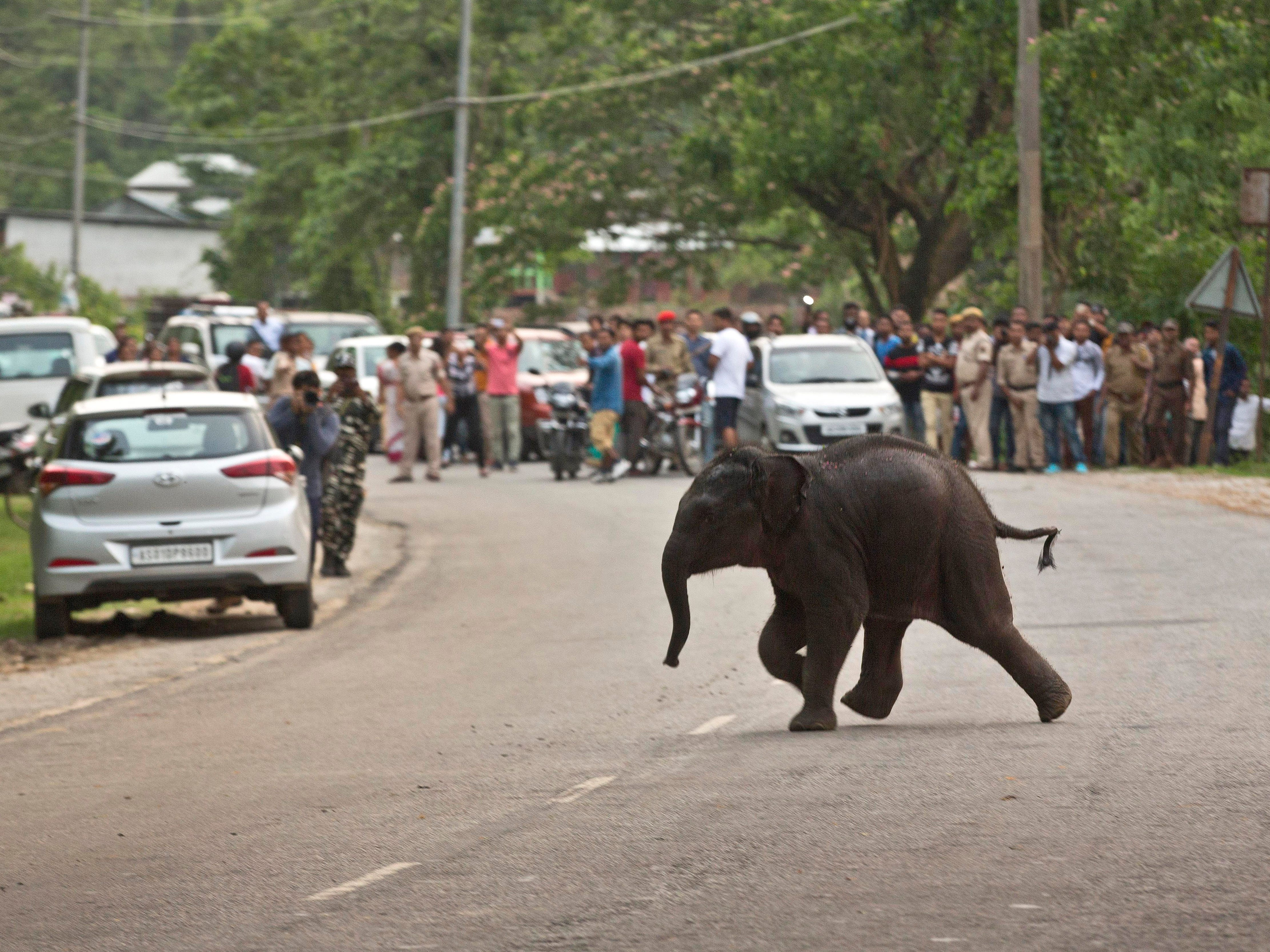 A baby wild elephant crosses a road to return to the forest after being rescued at Deepor Beel wildlife sanctuary in Gauhati, India, Friday, May 10, 2019. The elephant had gotten stuck in the waters of Deepor Beel after it was separated from a herd of wild elephant that came down in search of food last night.