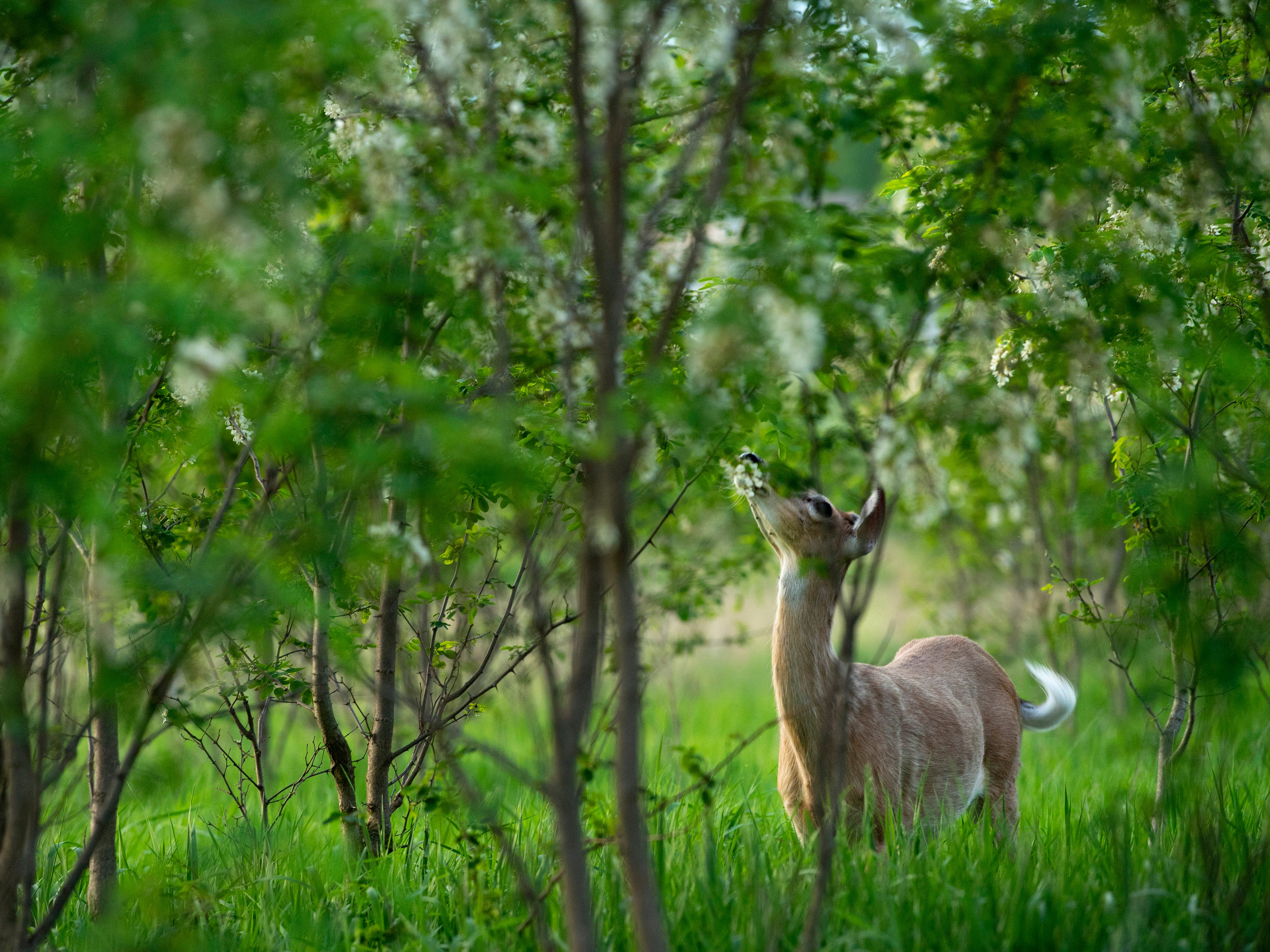 A white-tailed deer nibbles the leaves in a stand of black locust trees at Friedman Park in Warrick County Thursday evening.