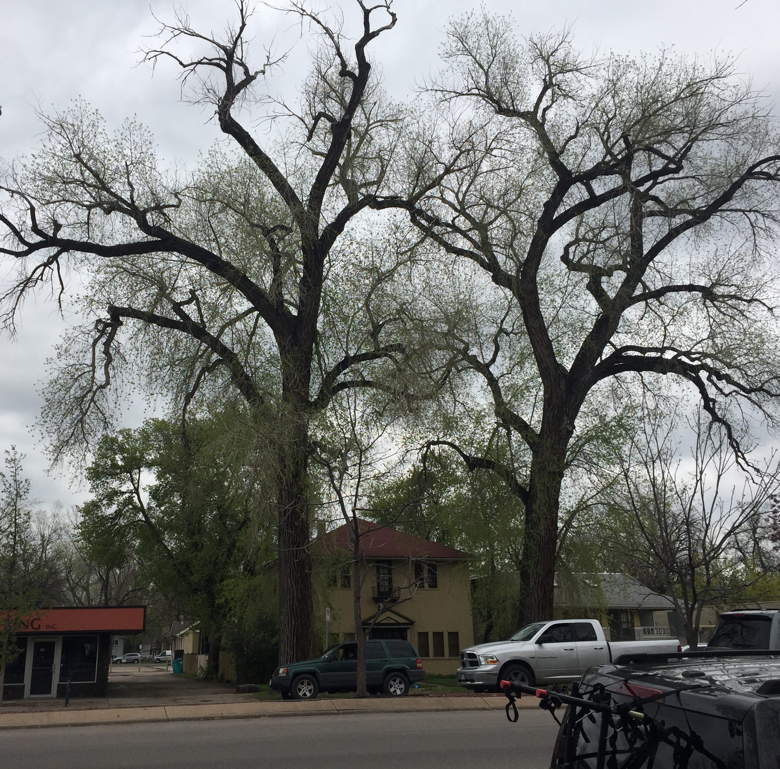 Fort Collins to close northbound College Avenue on Saturday for removal of large cottonwood