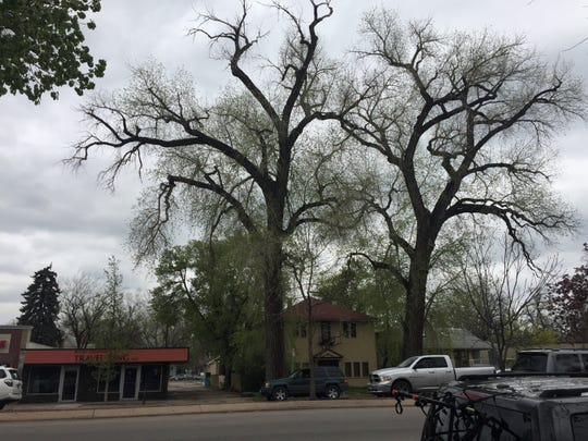 A cottonwood tree next door to Travel King on College Avenue between Mulberry and Myrtle streets is set for removal Saturday.