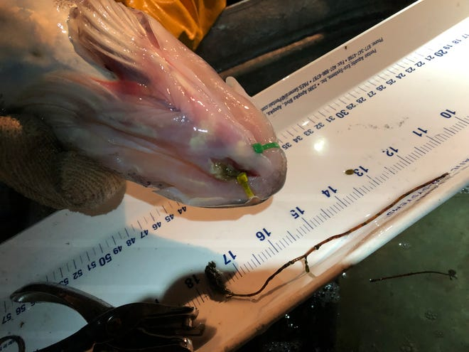 A walleye with Zip Ties in its jaws.