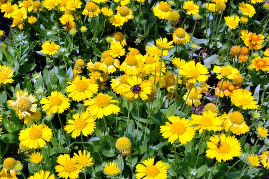 'Mesa Yellow' blanket flower produces scads of sunny flowers all summer long in sunny dry sites.