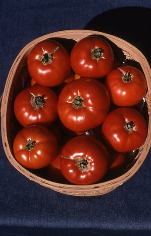 This basket of big beef hybrid red tomatoes are a popular award winnerplanted by many home gardeners.