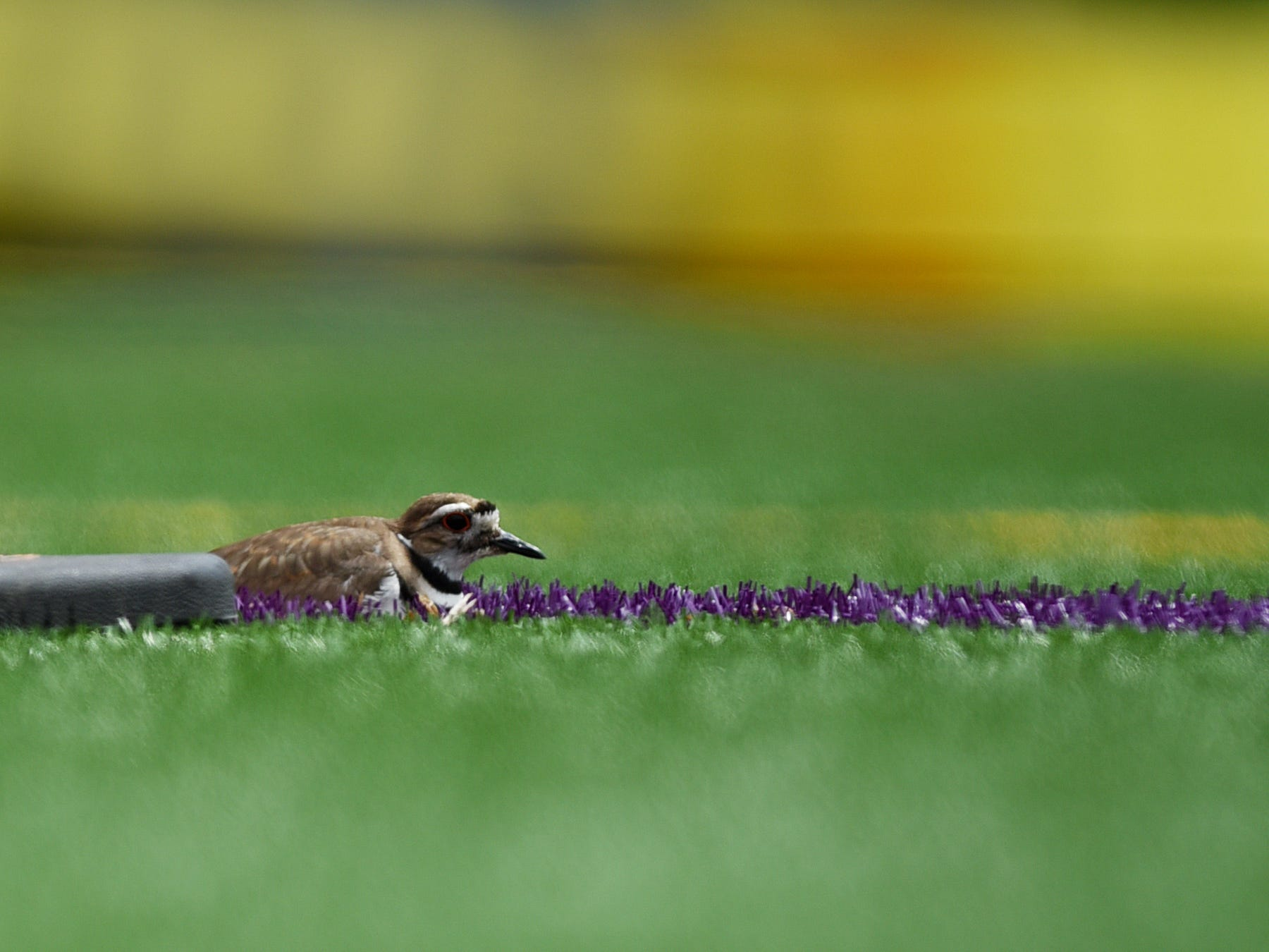 A protected bird called a killdeer has taken up residence on the artificial turf in the Votee Park soccer field where she has laid her eggs. The nesting area is cordoned off and soccer games have moved to another field. The nesting killdeer is shown in Teaneck  on Friday May 10, 2019.