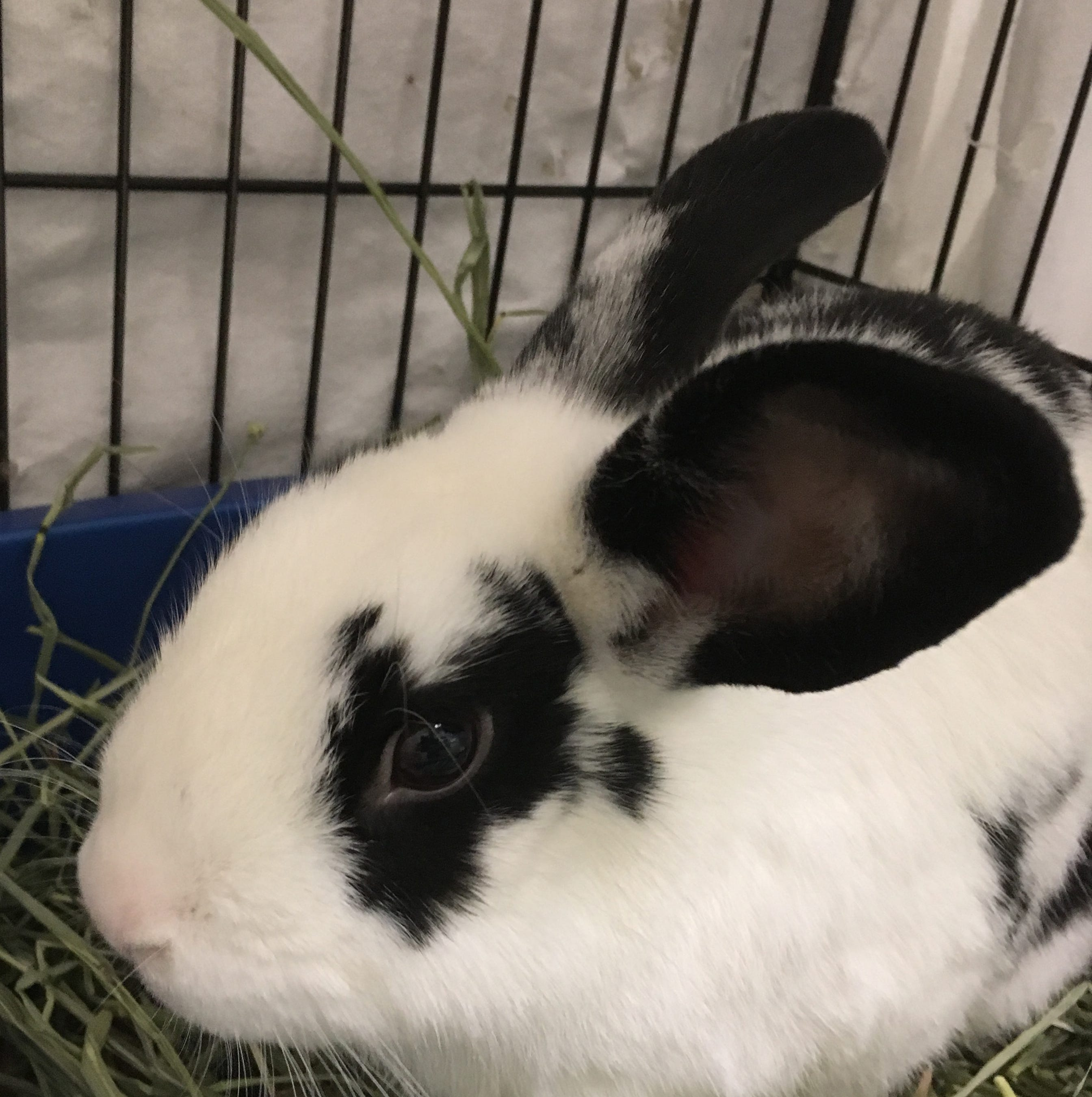 Oshkosh Northwestern Pet of the Week: Bentley the rabbit looks to hop into your life