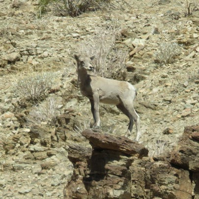 Lambing season has good signs so far for the Coachella Valley's Peninsular bighorn sheep