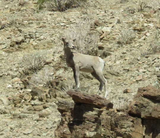A bighorn sheep lamb keeps watch from a mountain vantage point.