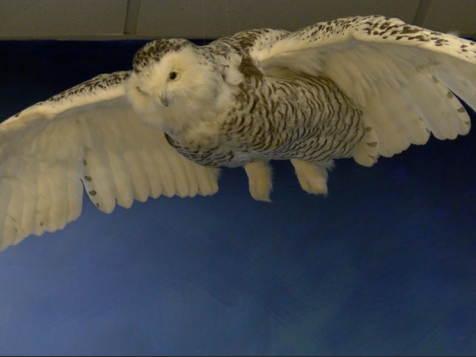 A snow owl is posed inside the  Richard M Nixon Park Nature Center in York County.