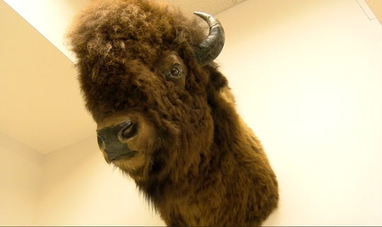 A bison is posed inside the  Richard M Nixon Park Nature Center in York County.