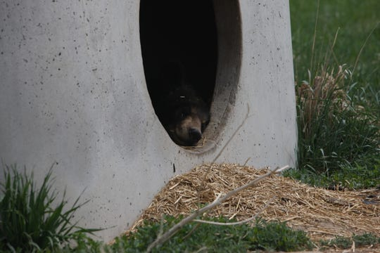 Ricki the bear peeks out of her den at the Wild Animal Sanctuary in Keenesburg, Colorado.