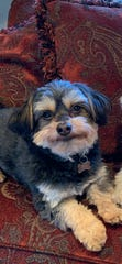 Jack, Jenna and Brad Leber's Havanese mix, went missing in March. This week, his collar was found nearby. It appeared to have been cut off of him.
