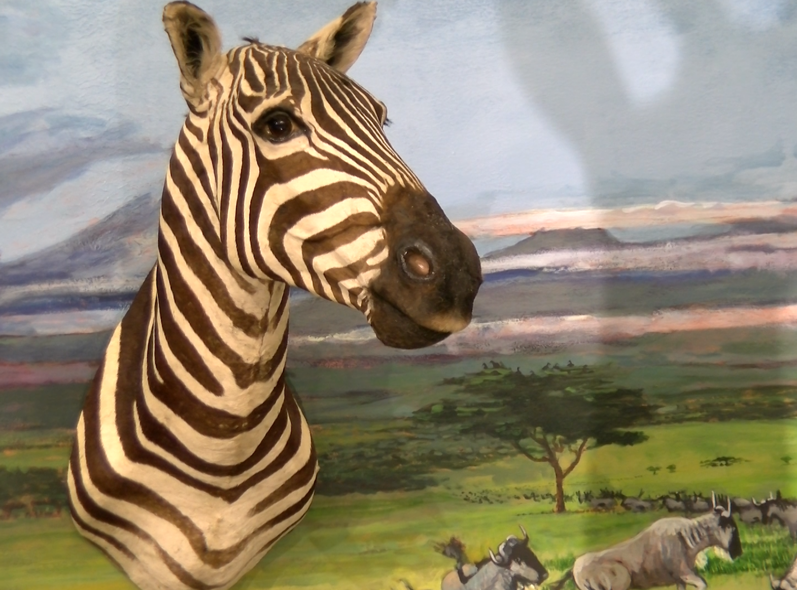 A zebra head is posed inside the  Richard M Nixon Park Nature Center in York County.