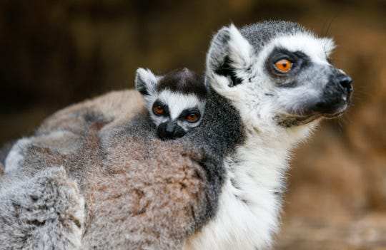 A baby ring-tailed lemur clings to its mother's back at the Dickerson Park Zoo on Thursday, May 9, 2019.