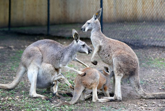 A baby kangaroo nurses on its mother at the Dickerson Park Zoo on Thursday, May 9, 2019.