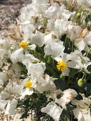 The dwarf bear-poppy grows at the White Dome Nature Preserve in St. George, Utah.