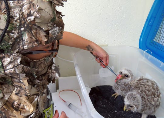St. Francis Wildlife staff member, Nicole Rivera, wears a camouflage mask to feed two orphaned nestling barred owls. This is necessary to prevent them from becoming imprinted on humans.