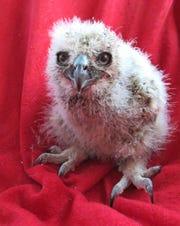 Orphaned great horned owl nestling.