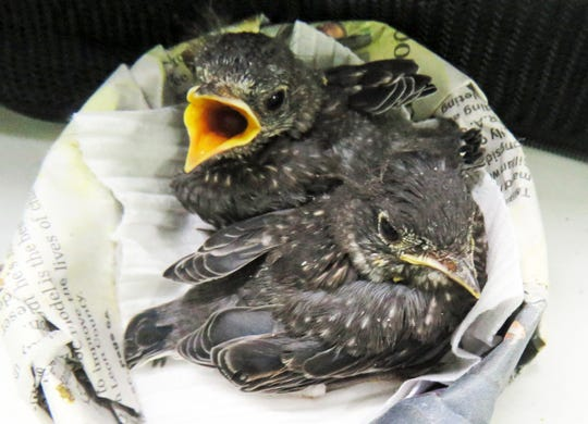 These baby bluebirds are 'almost fledglings.'