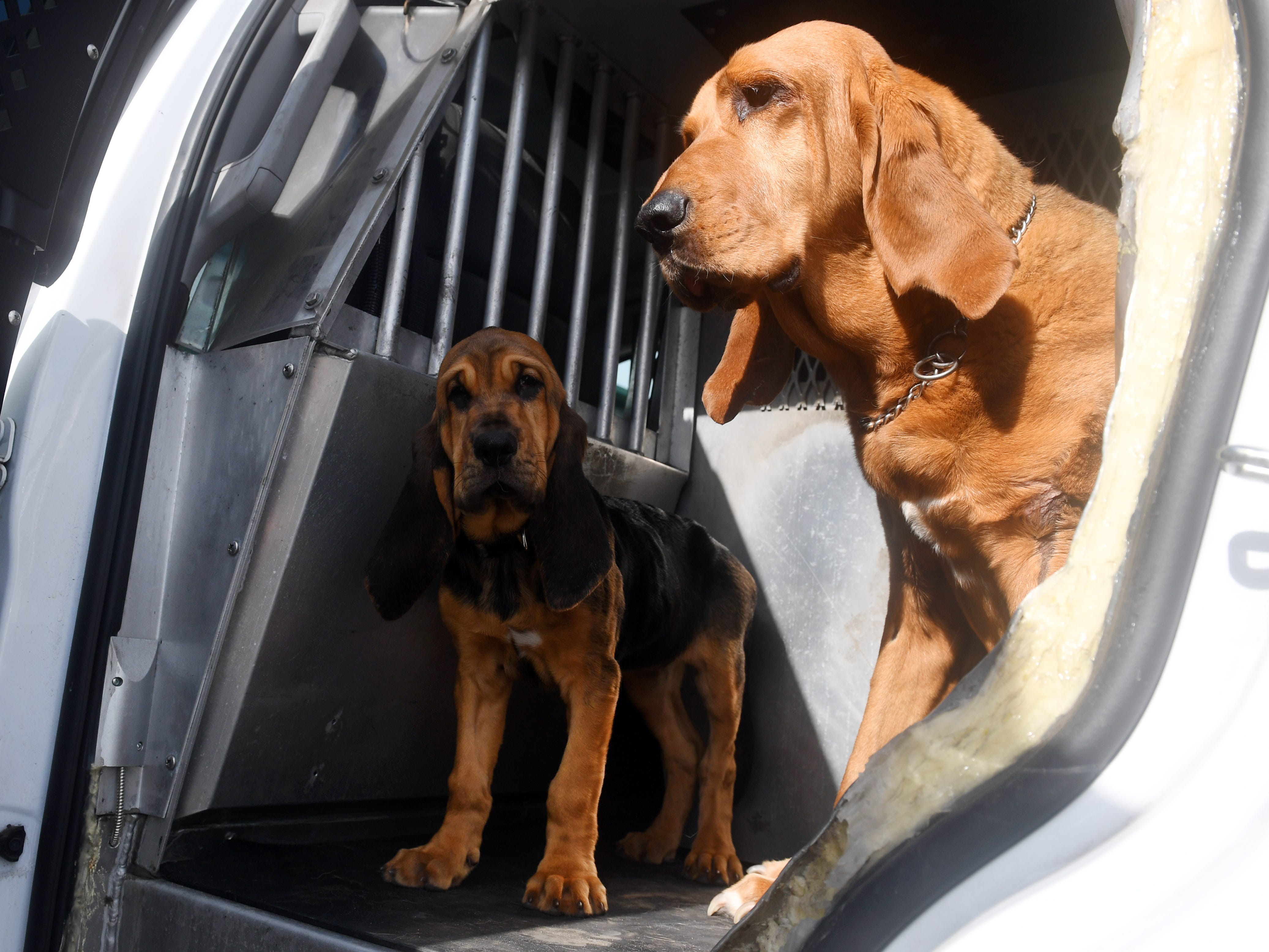 Willow, a 10-month-old bloodhound, is the newest addition to the Indian River County Sheriff's Office K-9 unit and will be trained as a search and rescue dog. Willow will be replacing Dixie, a 12-year-old dog, who will soon retire.