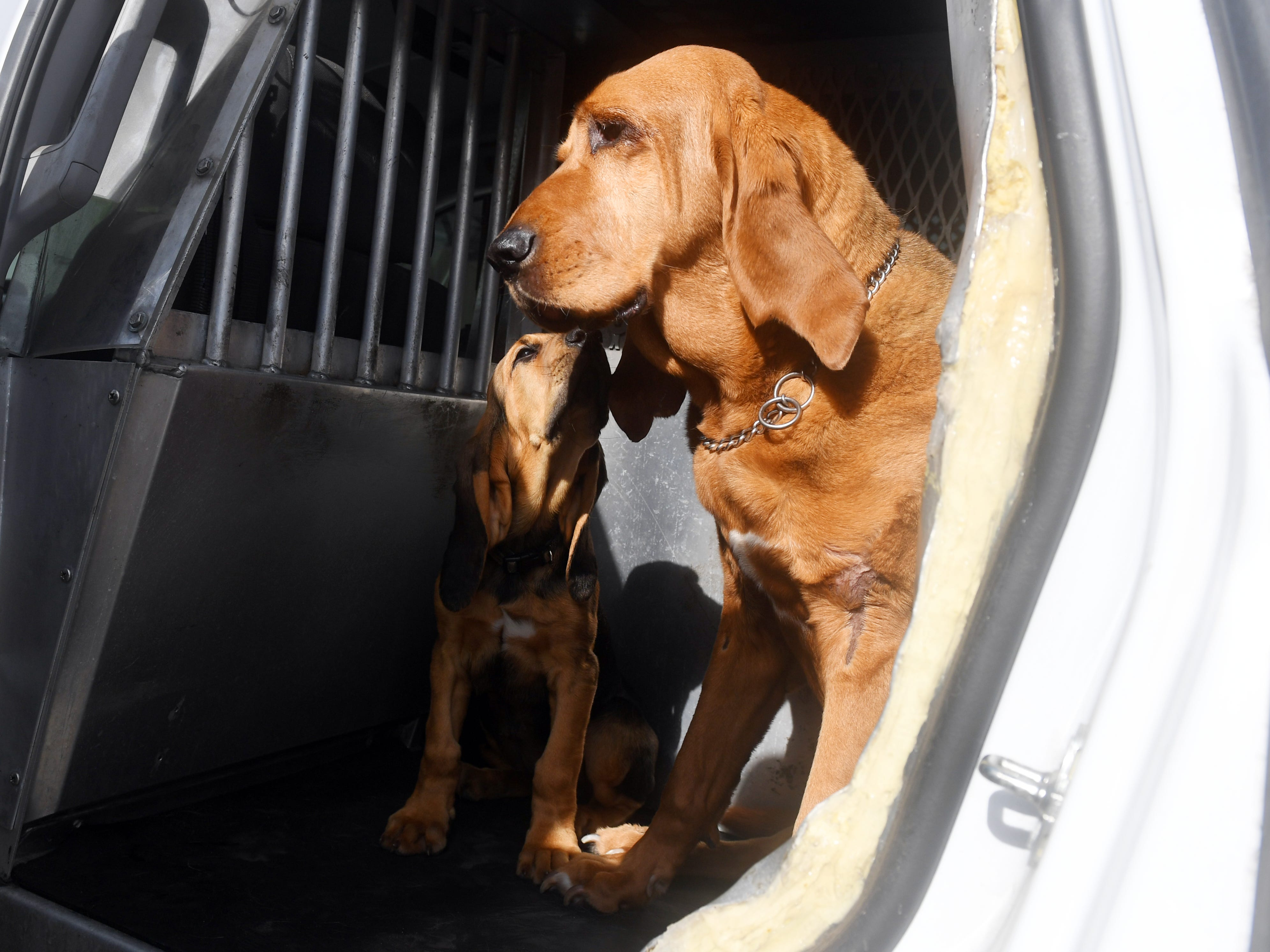 "Ten-week-old bloodhound and new Indian River County Sheriff's Office K-9 officer Willow, sits in the back of a squad car with her fellow officer Dixie on Friday, May 10, 2019. Willow, who will be trained and used as a search and rescue dog, will replace Dixie, who is 12-years-old. ""We were out on a call not to long ago and I noticed that Dixie was looking a little weak,"" said Sheriff's Deputy Brian Reimsnyder, ""and I started thinking maybe it's time for her to retire. Dixie has had a long career, longer than normal,"" Reimsnyder said. ""Now I have to get used to chasing around a toddler again."""