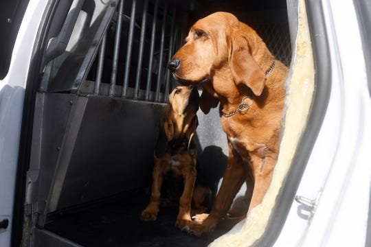 """Ten-week-old bloodhound and new Indian River County Sheriff's Office K-9 officer Willow, sits in the back of a squad car with her fellow officer Dixie on Friday, May 10, 2019, at the sheriff's office. Willow, who will be trained and used as a search and rescue dog, will replace Dixie, who is 12-years-old. """"We were out on a call not too long ago and I noticed that Dixie was looking a little weak,"""" said Sheriff's Deputy Brian Reimsnyder, """"and I started thinking maybe it's time for her to retire. Dixie has had a long career, longer than normal,"""" Reimsnyder said. """"Now I have to get used to chasing around a toddler again."""""""