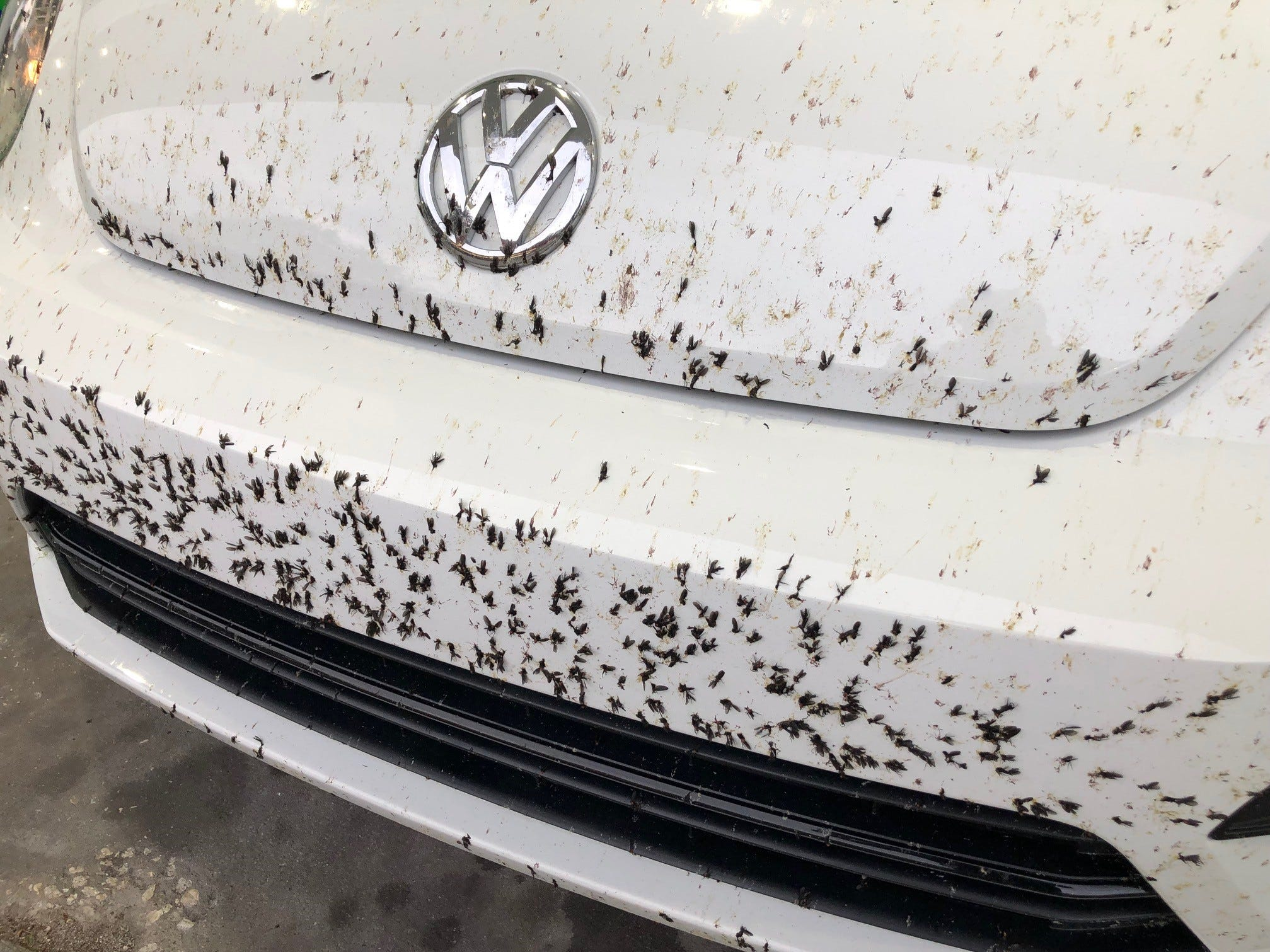 Lovebugs continue to make their presence felt, as shown on this rental car May 10, 2019.