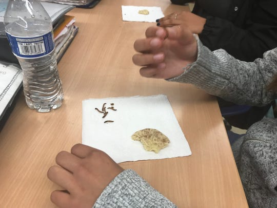 A Curren School student picks up a mealworm to eat as part of a class project. The mealworms were also baked into cookies.