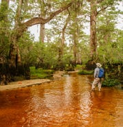 These cypress trees along the banks of the Black River in North Carolina are over 2,600 years old, according to tree expert David Stahle of the University of Arkansas (right).