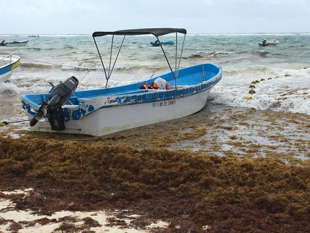 Mexico resorts in Cancun, Playa del Carmen, Tulum overrun with algae