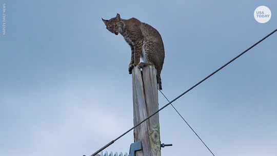 Bobcat climbs up Florida electrical pole, triggering epic rescue caught on video