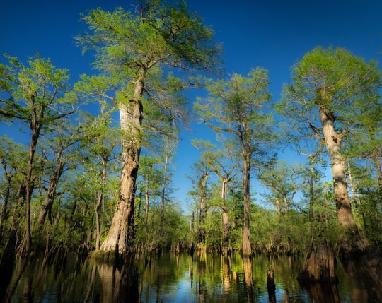 A recently documented stand of bald cypress trees in North Carolina, including one tree at least 2,624 years old, are the oldest known living trees in eastern North America.