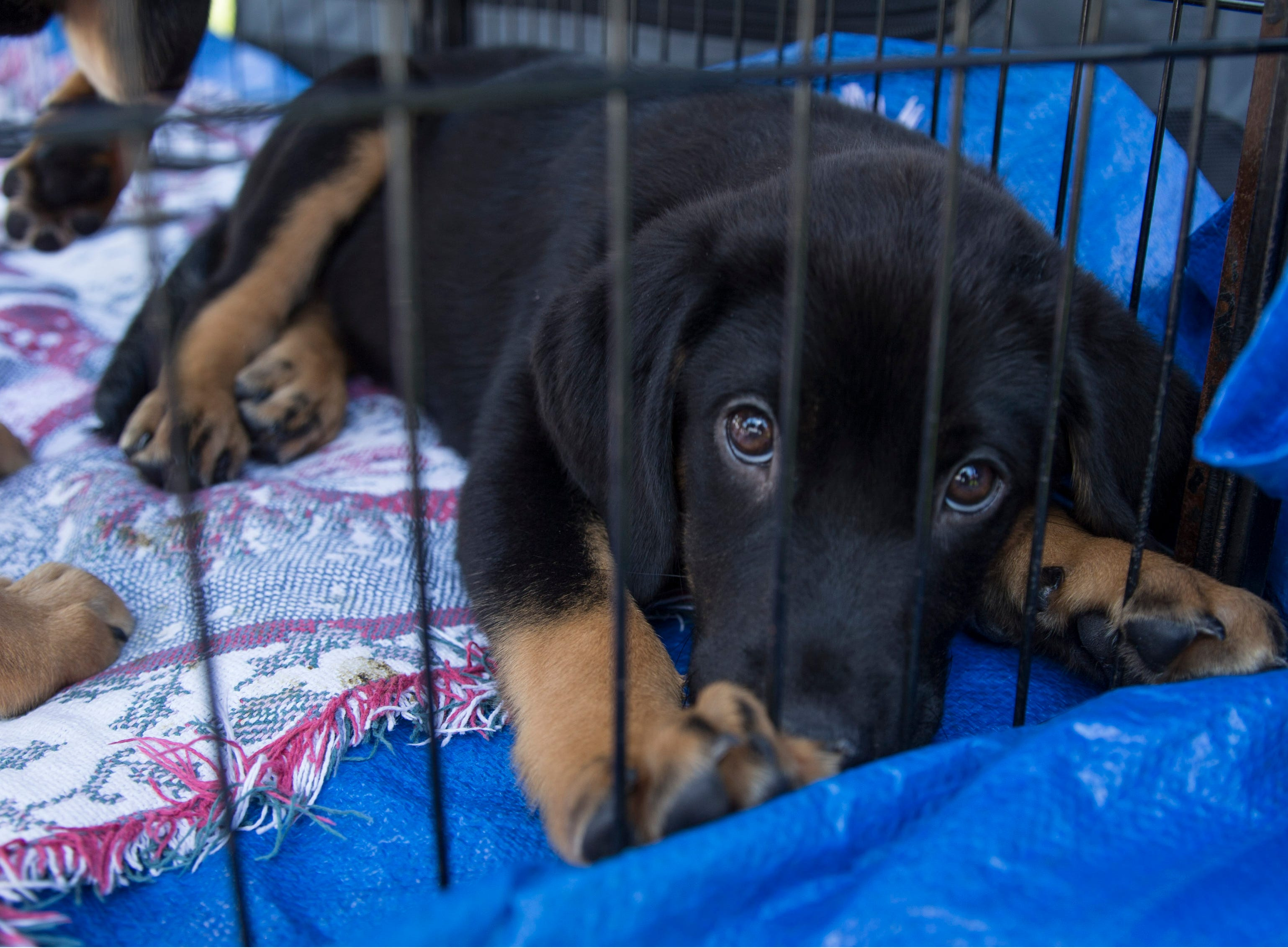 """Puppies available for adoption through Puppy Love Pet Rescue. Lakewood BlueClaws Bark in the Park takes place on stadium grounds prior to the game. Dogs were also allowed to attend the game with a """"pooch pass"""". Many adoption agencies were on hand offering dogs looking for homes to qualified humans. Lakewood, NJSaturday, May 11, 2019"""