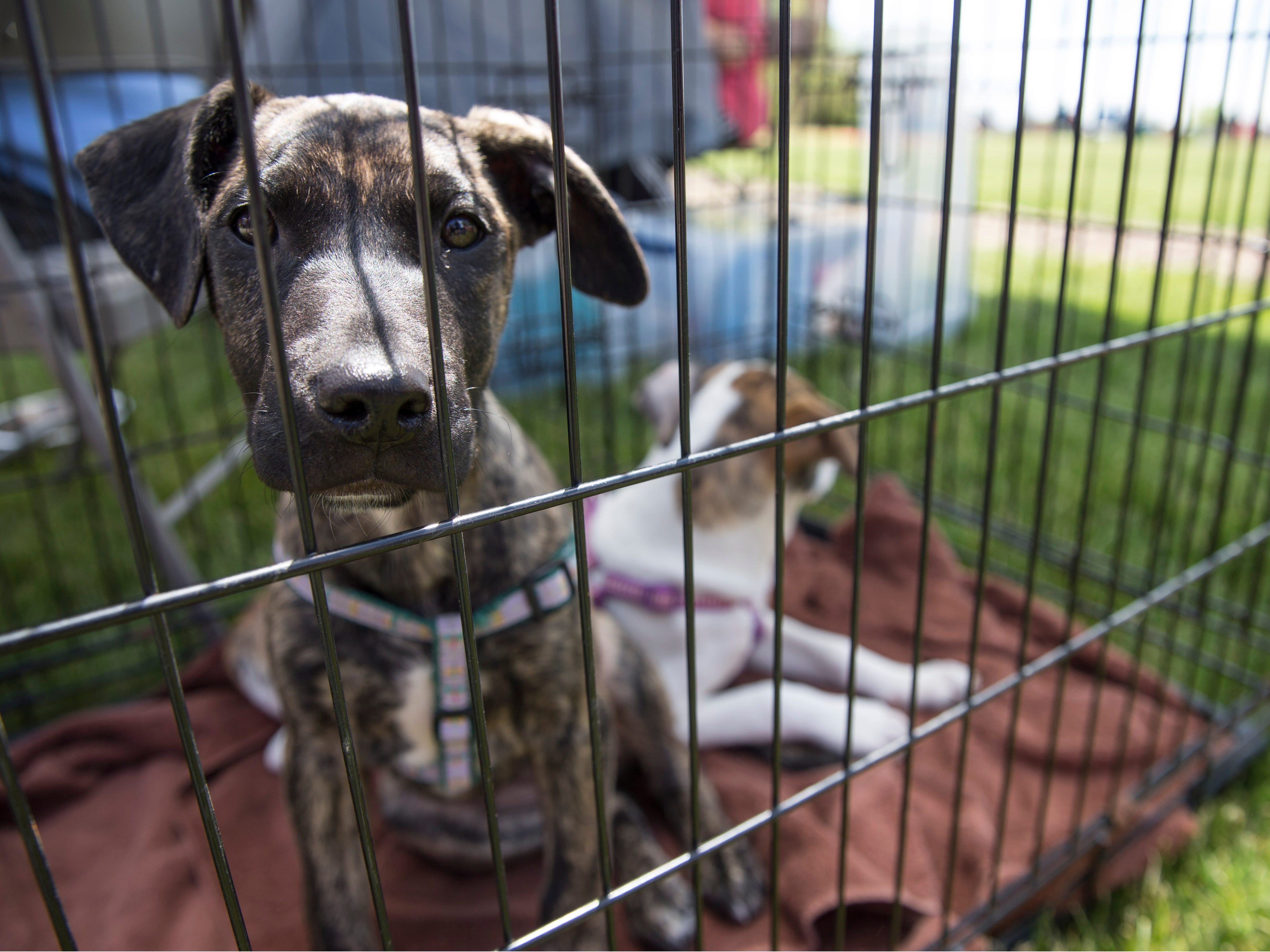 """Evelyn Hahoney of Bayville looks at two puppies up for adoption from Castle of Dreams Animal Rescue out of Keyport. Lakewood BlueClaws Bark in the Park takes place on stadium grounds prior to the game. Dogs were also allowed to attend the game with a """"pooch pass"""". Many adoption agencies were on hand offering dogs looking for homes to qualified humans. Lakewood, NJSaturday, May 11, 2019"""