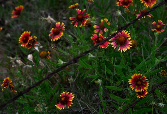 Firewheels bloom near a fence line in Coleman County.