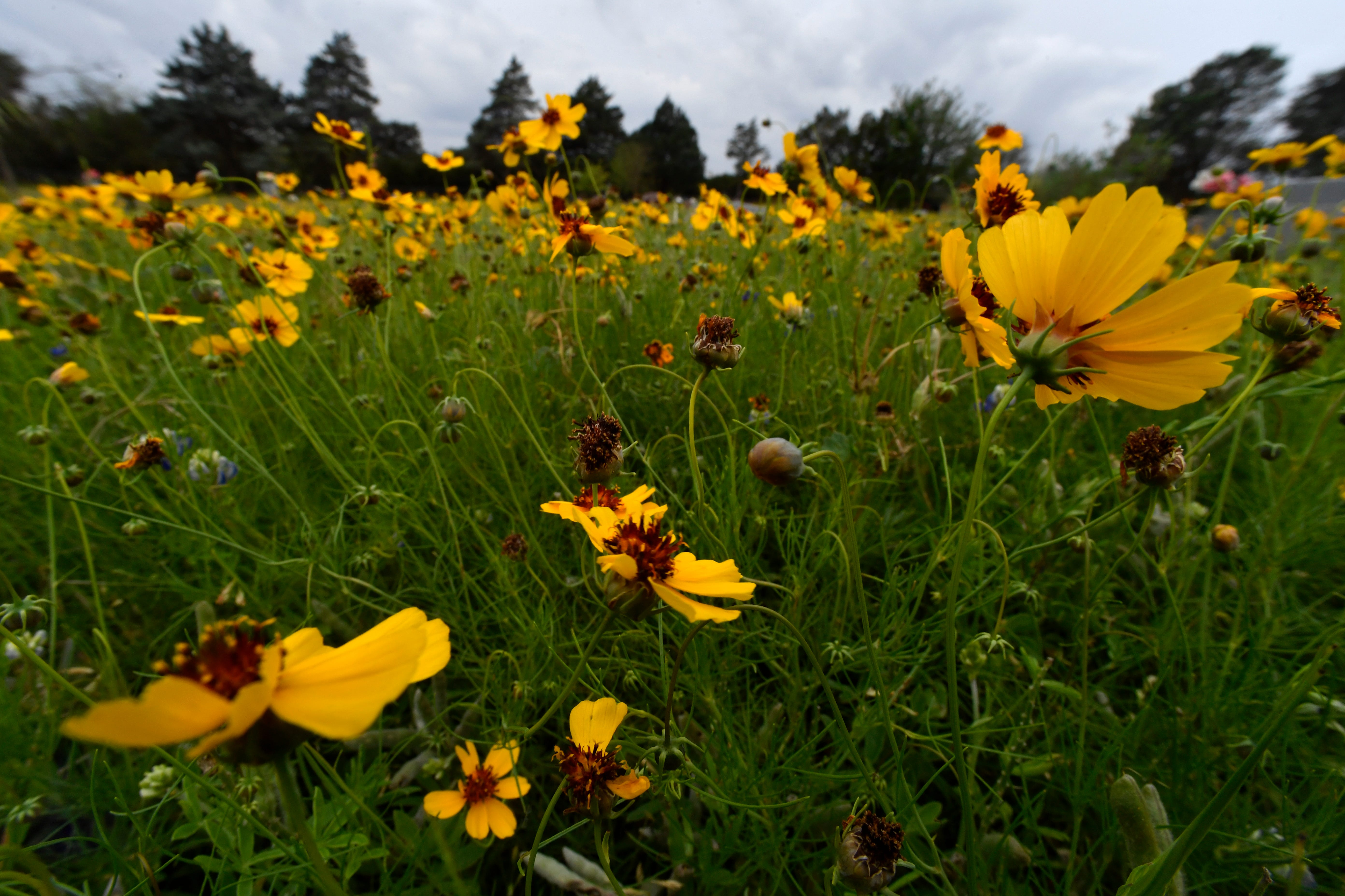 Coreopsis tinctoria, sometimes called the Plains Coreopsis, Goldenwave or Golden Tickseed, spreads out at the Buffalo Gap Cemetery.