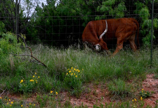 A longhorn steer licks a hoof along Belle Plains Road near Buffalo Gap.