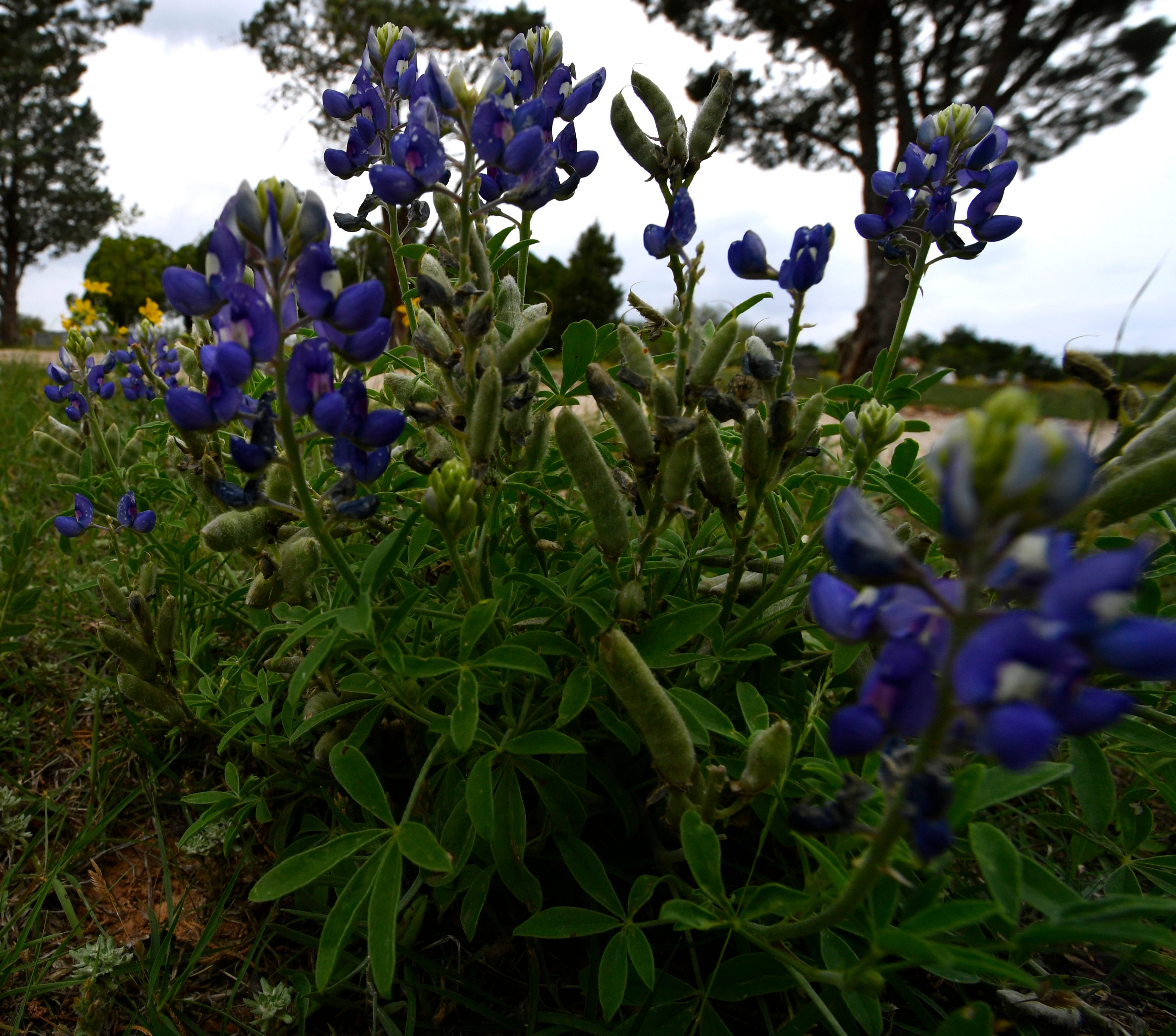 Bluebonnets bloom in the Buffalo Gap Cemetery. With most of their flowers having already come and gone, the plants will spend the next month or more developing their seed pods.