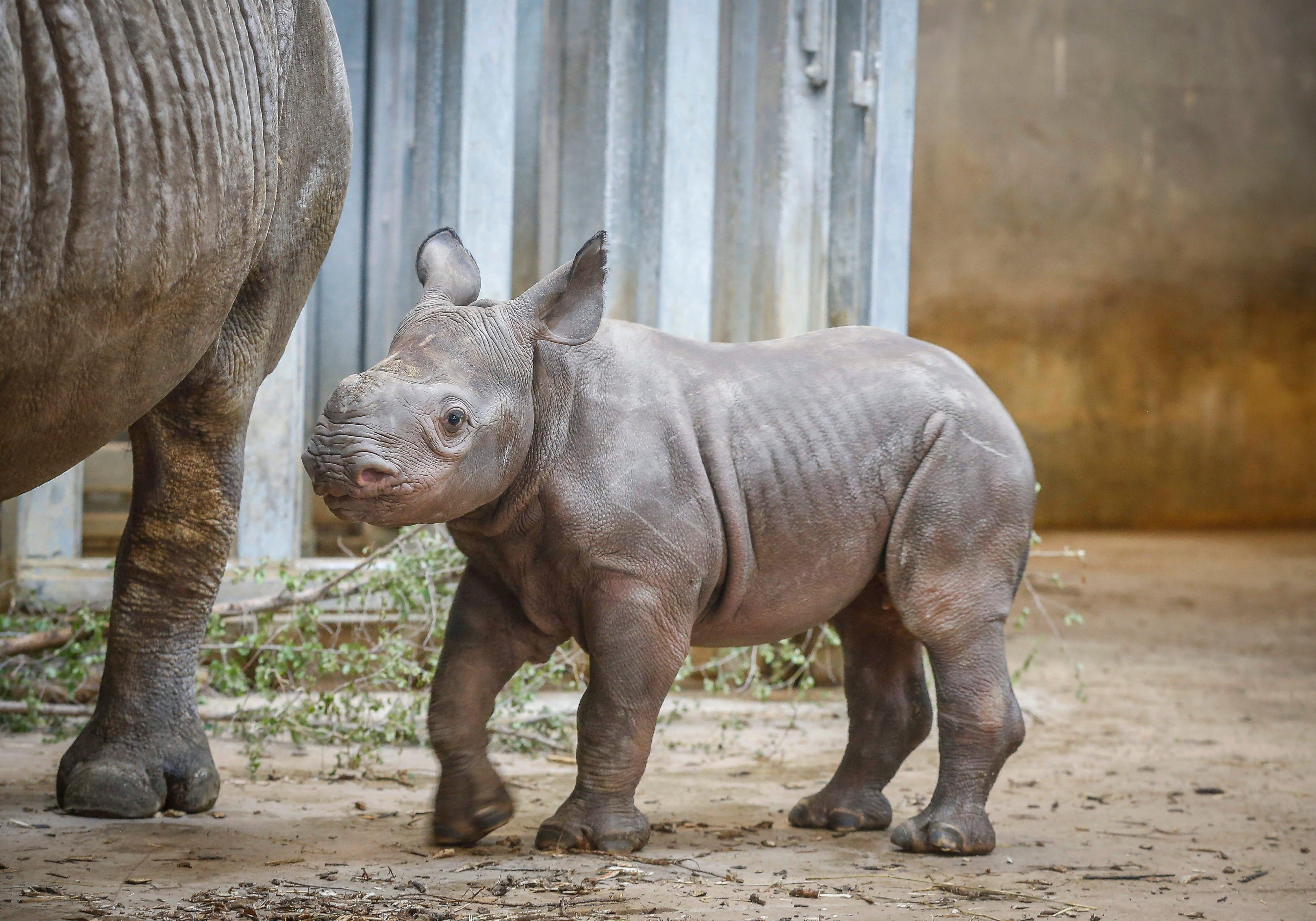Baby rhino Kamara meets the public