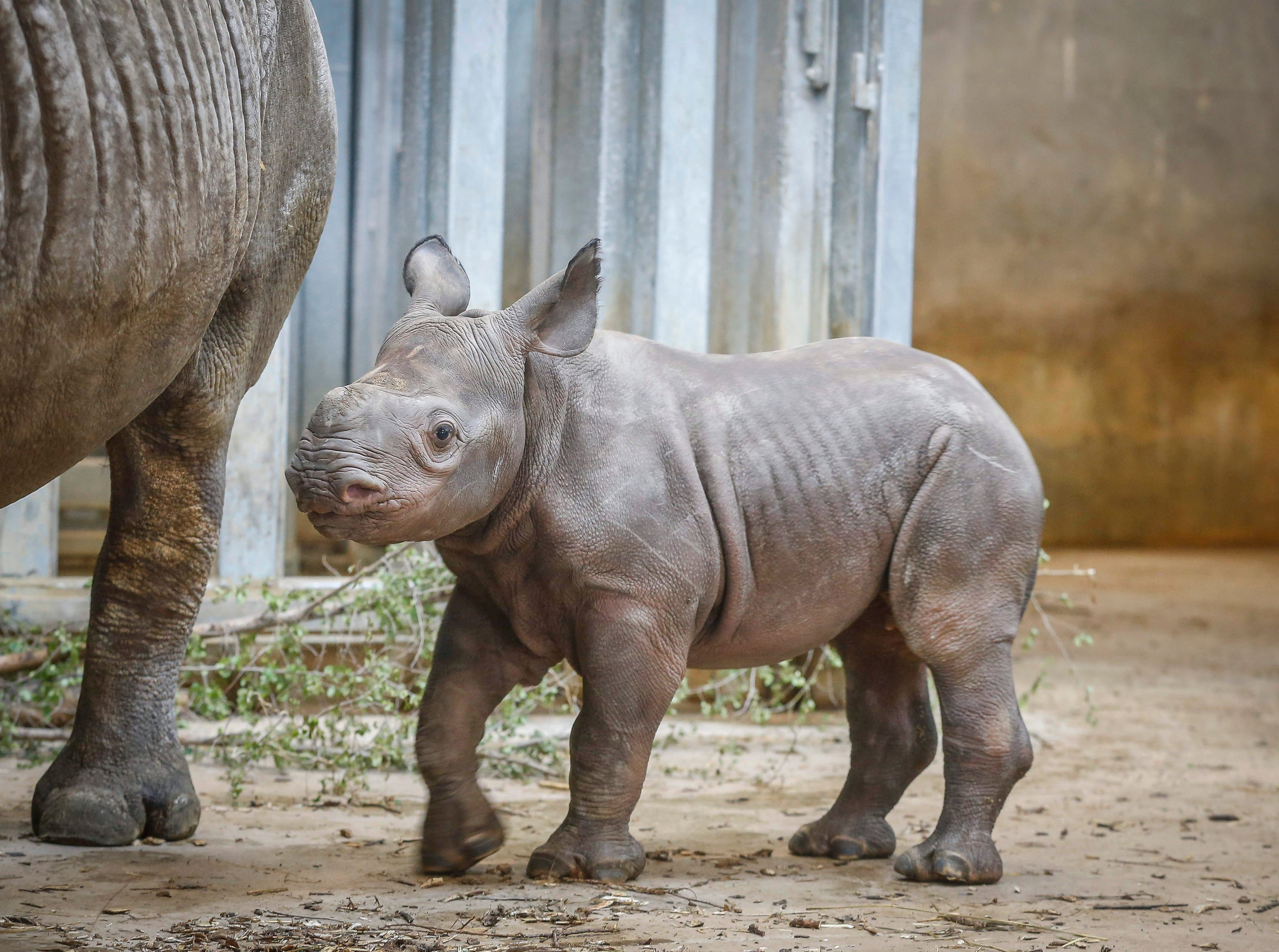 Members of the public got to meet Kamara, the Blank Park Zoo's baby rhinoceros, for the first time on Saturday, May 11, 2019, in Des Moines.