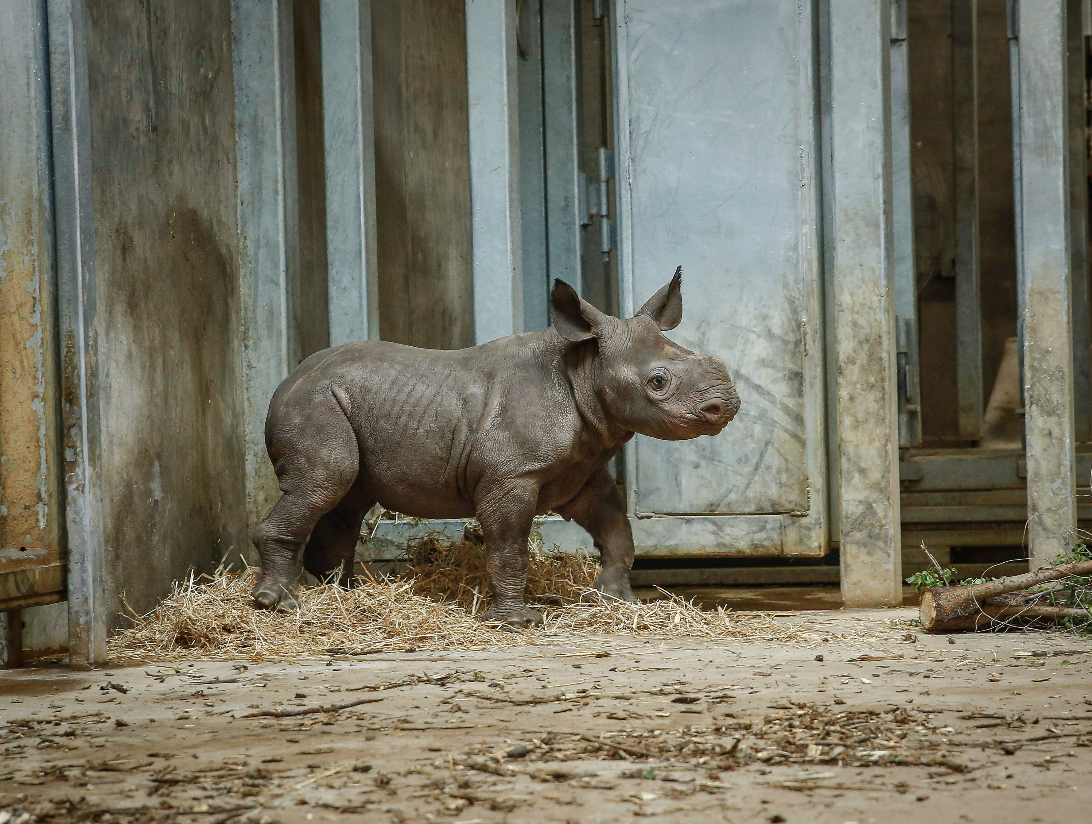 Kamara, a baby rhinoceros, takes a break from pacing the display on Saturday, May 11, 2019, at the Blank Park Zoo in Des Moines. It was the first day the public got to get a personal look at Kamara, who was born on April 5.