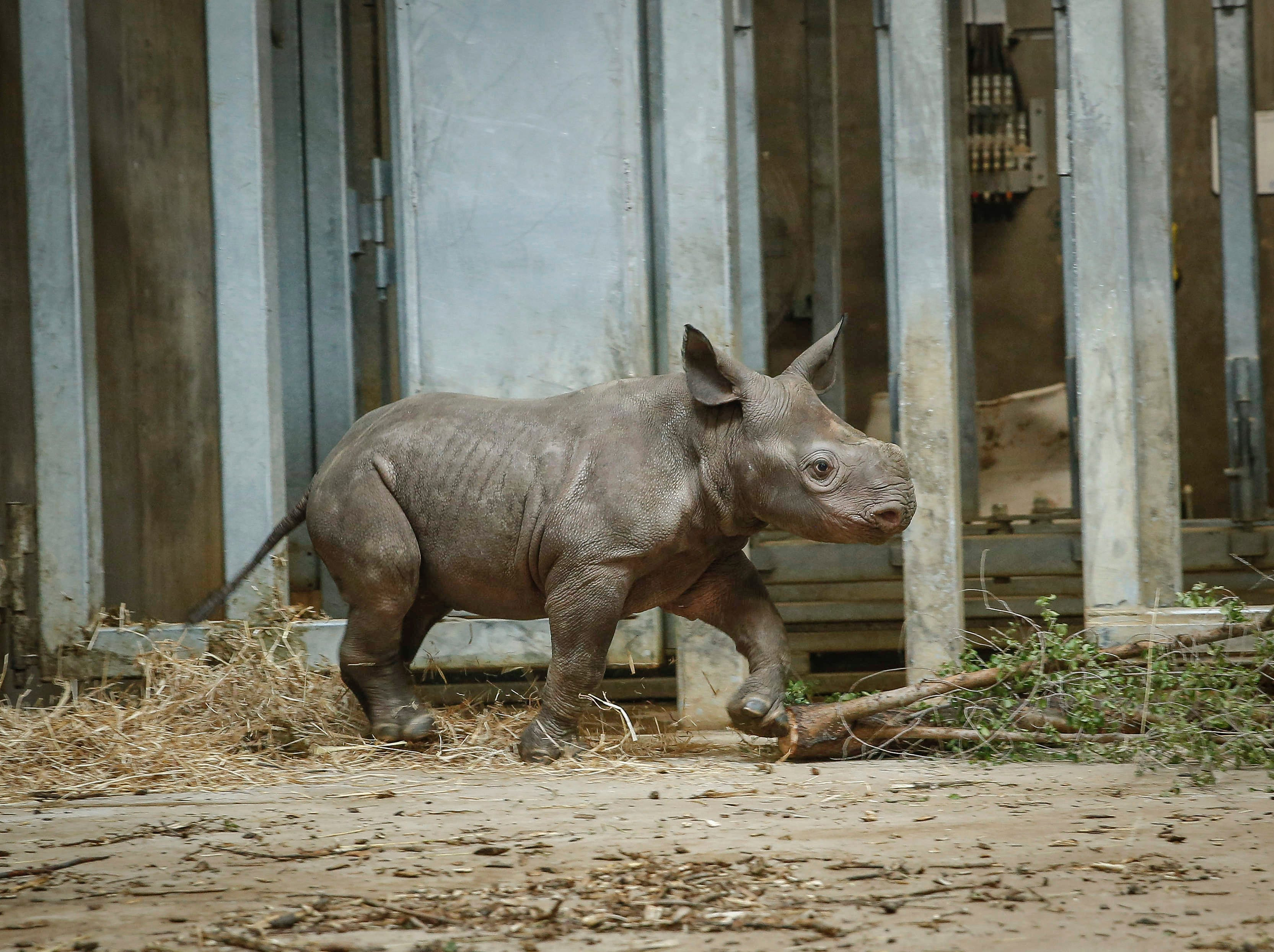 Kamara, a baby rhinoceros, runs after her mother, Ayana, on Saturday, May 11, 2019, at the Blank Park Zoo in Des Moines. It was the first day the public got to get a personal look at Kamara, who was born on April 5.