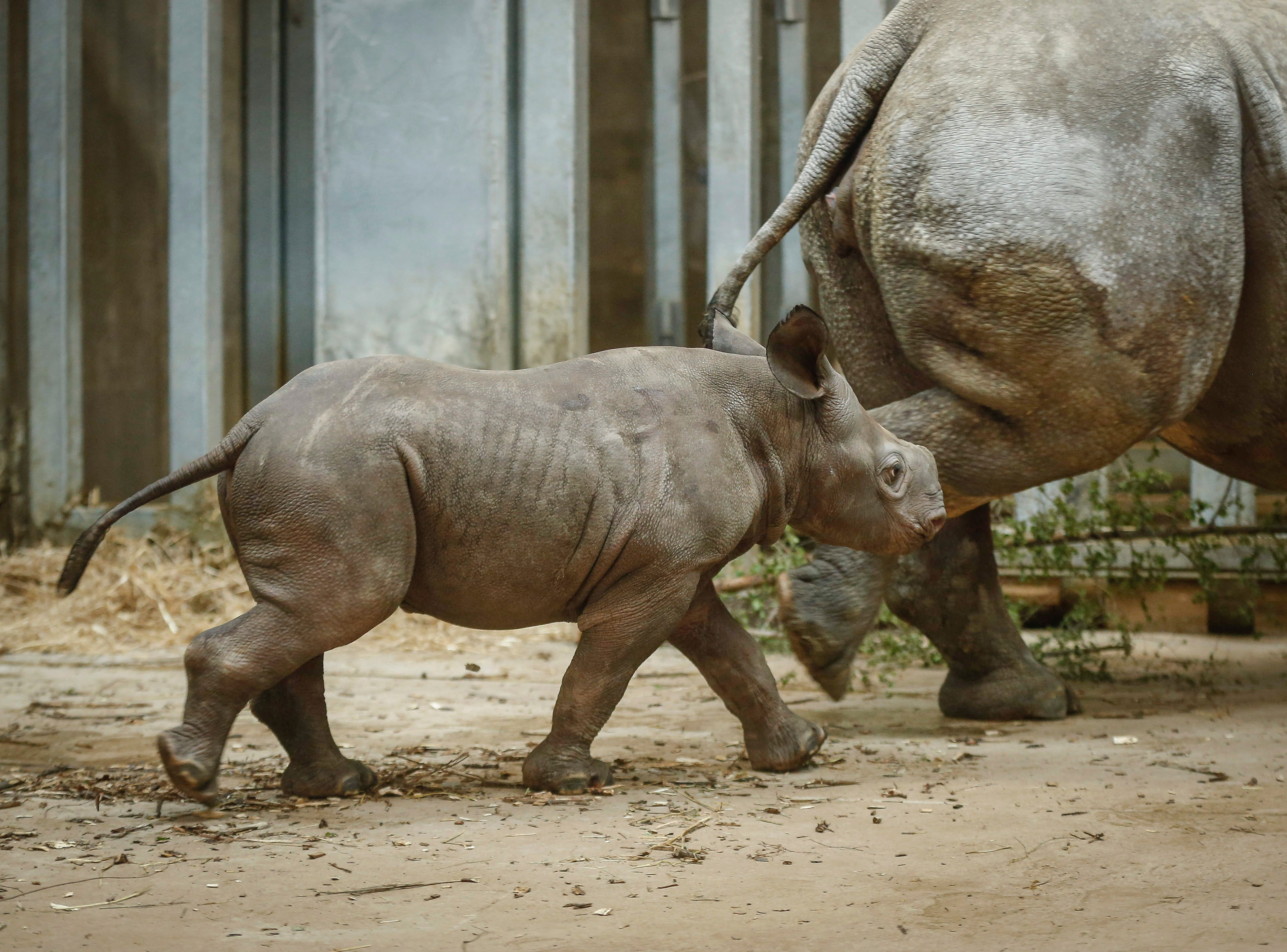 Kamara, a baby rhinoceros, paces the display area alongside her mother, Ayana, on Saturday, May 11, 2019, at the Blank Park Zoo in Des Moines. It was the first day the public got to get a personal look at Kamara, who was born on April 5.