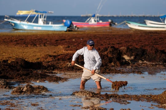 A worker uses a shovel to remove sargassum seaweed from the shore of Playa del Carmen, Mexico, Wednesday, May 8, 2019. The problem affects almost all the islands and mainland beaches in the Caribbean.